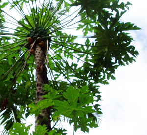 papaya003.jpg